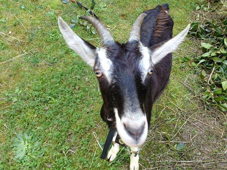 Laura's Place goat